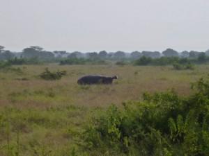 Ein Nilpferd im Queen Elizabeth NP