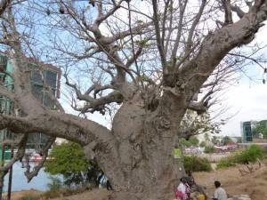 Ein Baobab-Baum (auch als afrikanischer Affenbrotbaum bezeichnet). Dieser hier soll ca. 600 Jahre alt sein und stand also schon an dieser Stelle, als Vasco da Gama als erster Europäer nach Ostafrika kam.