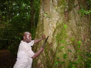 Kalinzu Forest Reserve. Der innere Baum dient als Wirt für eine Feigenart, die außen herum wächst.