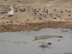 Krokodil (Queen Elizabeth NP)