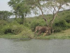 Elefant im Queen Elizabeth NP